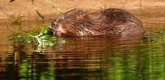 Eating (Robin M Morrison) Tags: beaver river otter devon