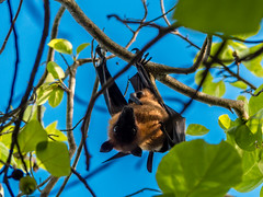 P1000802 (Pro Sixty) Tags: wildlife bat fruitbat maldives meehupparu panasonic lumix fz200