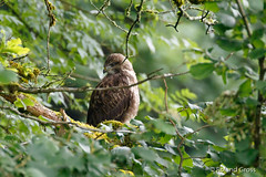 Mäusebussard Jungvogel (9) (rgr_944) Tags: vögel vogel bird oiseau tiere animaux animals natur outdoor canoneos80deos7dmk2eos5dmk4 rgr944