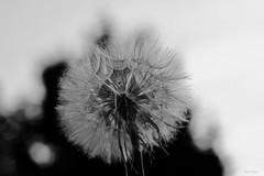 Black&White nature (kiareimages1) Tags: bw blackwhite dandelion macroflowers macrophoto macro bianconero