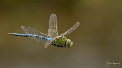 Emperor Dragonfly (Bob Howell RE) Tags: emperor dragonfly in flight blue green macro insect