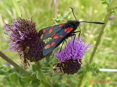 Six Spot Burnet Moth1 (g crawford) Tags: crawford ayrshire northinsectmothnorth