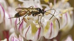 Ichneumon wasp (stevenbailey7) Tags: wasp ichneumon ichneumonidae parasitoid insect nature macro llanelli leeks flower flowers white closeups