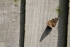Butterfly On The Fence! (RiverCrouchWalker) Tags: fence fencefriday happyfencefriday hff butterfly shadow enfield july 2017 summer speckledwood parargeaegeria