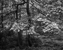 Oak Leaves (Hyons Wood) (Jonathan Carr) Tags: black white bw monochrome tree landcape abstract rural northeast ancientwoodland toyo45a largeformat 4x5 5x4 oak leaves