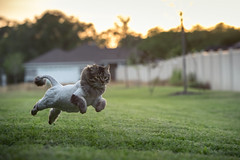 Freshly Cut (brerwolfe) Tags: backyard bounding centralflorida clermont florida frolicking fun home leaping lioncat lioncut mainecoonmix playing sunset cat draco dusk family fluffy jumping kitty pets