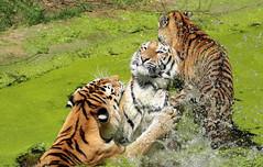 siberian tiger duisburg BB2A0295 (j.a.kok) Tags: tijger tiger pantheratigrisaltaica duisburg animal asia azie mammal zoogdier dier kat cat