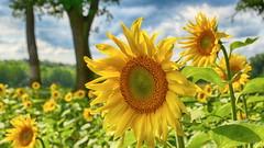 let the sun shine (micagoto) Tags: sonnenblume sonnenblumen blumen blumenfeld feld brandenburg sunflower sunflowers summer sommer potsdammittelmark