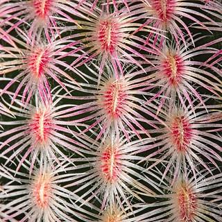 E. rigidissimus ssp. rubrispinus