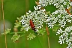 Rothalsbock (Wolfgang's digital photography) Tags: käfer bockkäfer rothalsbock natur nikond5300