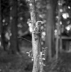 Young tree (odeleapple) Tags: yashica mat 124g yashinon 80mm neopan100acros film monochrome bw tree grove