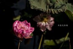 D66_0011 (brook1979) Tags: 台北市 植物園 荷 蓮 荷花 蓮花 葉 花 lotus flower