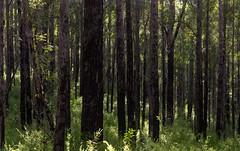 Eucalyptus tindaliae (dustaway) Tags: treescape landscape trunks trees australiantrees myrtaceae eucalyptus eucalyptustandaliae graftonstringybark stringybark tindalesstringybark woodland numinbahforestreserve nerangrivervalley sequeensland queensland australia