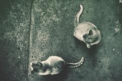 Cats @catsedition9 (Robert Krstevski) Tags: cat cats photography photooftheday catsphotography catsedition9 catsofflicker catsofinstagram catsoftwitter kitty kitten kittens kitties gato gatos кошки кошка котка котки мачка мачки македонија животни animal animals animallovers photograph popular nikon nikond3300 cute balkan europe flicker