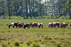 07082017-576-1 (bjf41) Tags: chincoteague horses wild herd colts
