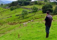 Herder en hond aan het werk
