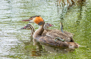 JWL3007 Great Crested Grebes...