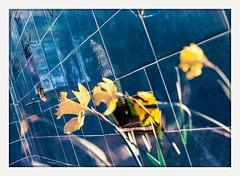 and everything you do (chickentender™ (Eyewanders Foto)) Tags: 135format 35mm bloom blue botany buyfilmnotmegapixels colorfilm doubleexposure embracethegrain eyewandersfoto film filmphotography filmswap flowers geometry lines shootfilm swap tile tiles trade yellow