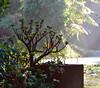 morning (graeme37) Tags: mist treefern crassula morning backlane