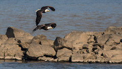 Chase Above the River & Rocks (Ken Krach Photography) Tags: eagles
