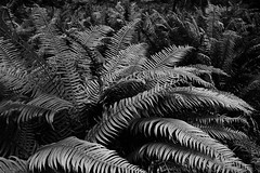 ferniture (sven.willkommen) Tags: nature leafs fern plant pattern repeating abundance growth abstract evanescence botany