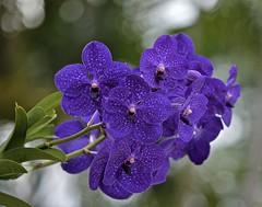 Thursdays Purple (ACEZandEIGHTZ) Tags: nikon d3200 vanda flowers orchid inflorescence blooms blume inbloom saariysqualitypictures