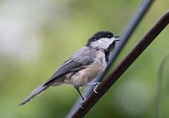 Carolina Chickadee (Laura Erickson) Tags: paridae stlouiscounty missouri kirkwood carolinachickadee birds passeriformes species places susansplace poecilecarolinensis