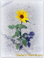 Thriving under adversity (ctofcsco) Tags: 2017 blacktop colorado coloradosprings explore flower gray green northamerica pavement summer sunflower sunshine usa white yellow samsung smg928t galaxy s6 edge edgeplus f19 43mm iso40 13200 cell phone mobile pic photo