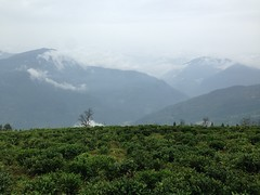 (chelsea_mcgill4) Tags: teaplantation sikkim temiteagardens himalayas mountains