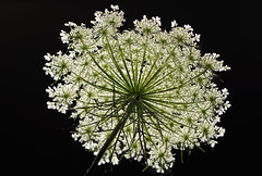 Queen Anne's Lace Flower (*Millie*-Trying to catch up, slowly!) Tags: wildflower weed daucuscarota queenanneslace flower white blackbackground light plant bottom lace inspiredbylove