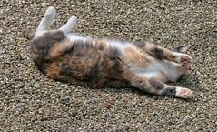 Loesje (Steenvoorde Leen - 4 ml views) Tags: doorn 2017 utrechtseheuvelrug pussy puss cat kat poes jong young katze chat minou mieze pussycat gata gato gatta loesje
