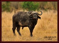 FRONT SHOT OF FULLY GROWN AFRICAN BUFFALO BULL... (Syncerus caffer) WITH YELLOW BILLED OXPECKER (Buphagus africanus)............MASAI MARA 2016 (M Z Malik) Tags: nikon d3x 200400mm14afs kenya africa safari wildlife masaimara keekoroklodge exoticafricanwildlife ngc