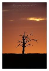 Lone Tree Sunset (cheffievrs) Tags: 1dxmkii borderfx canon ef600mmf4lis lonetree nature sunset tree warwickshire wild