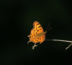 Comma - Ulley Country Park (westoncfoto) Tags: