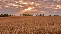 In the grain field (flowerikka) Tags: beam clouds cornfield eveningmood field landscape light harvest rosa sky summer sun sunset tree view germany