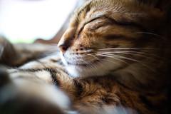 Cat in catcafe (4 Leaf Clover) Tags: d810 nikkon nikkor cat cafe catcafe japan harajuku sleeping 60mm