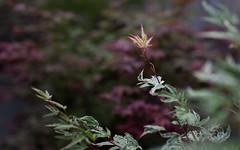 New Growth (Xiao-Bu) Tags: canon5dmarkii ef35mmf14lusm japanesemaple acerpalmatum okukujinishiki