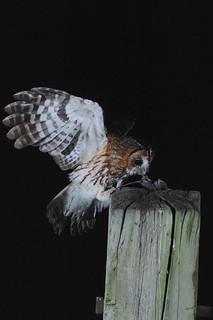 Tawny Owl DSC_2815