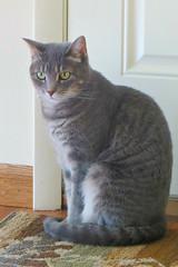 Millie 11 July 2017 5666Ri 4x6 (edgarandron - Busy!) Tags: millie graytabby cat cats kitty kitties tabby tabbies cute feline