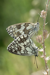 Marbled whites (gillian.pullinger) Tags: marbledwhite marbledwhites mating pair wildlife nature