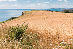 Devon landscape (Keith in Exeter) Tags: devon landscape budleigh farm cereal barley field coast sea bay ruby5 ruby10