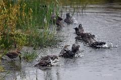 Starlings bath - Stare baden (Susanne Weber) Tags: star starling bird vogel inexplore planetaanimalanimalplanet excellent susanneweber natur nature glück freude entspannung deutschland dänemark norden