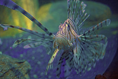 Lion Fish (celia.mulhearn) Tags: lionfish sealifecentre weymouth dorset efs24mmf28stm