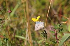 Hedblåvinge 'Plebejus idas' (På upptäcktsfärd i naturen) Tags: blåberga juli fjäril butterfly hedblåvinge plebejusargus plebejus äktadagfjärilar papilionoidea juvelvingar lycaenidae polyommatinae polyommatini blåvingar
