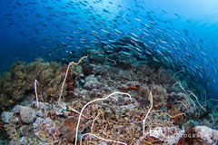 FI_23 (Lea's UW Photography) Tags: underwater indonesia lealee canon5dmk3 wideangle fisheye corals fusiliers