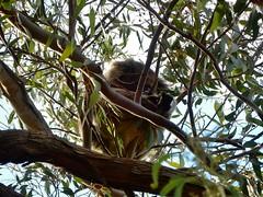 Koala in the Trees (mikecogh) Tags: echunga party family birthday river koala asleep gumtree