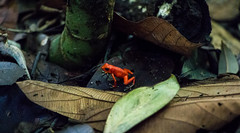 Poison Dart Frog (bonnie_krantz) Tags: gul frog frogs poisondartfrog bluejeansfrog strawberryfrog animal wildlife animalplanet amfibie panama costarica travel pilgiftsgroda strawberrypoisondart bocasdeltoro redfrogbeach