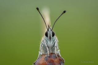 Hauhechel-Bläuling (Polyommatus icarus) - Weibchen