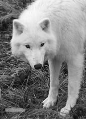 Polarwolf BW (jensfechter) Tags: elements polarwolf