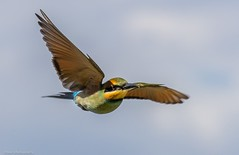 Rainbow bee-eater (Mykel46) Tags: bif birds nature wildlife canon outside outdoors flight flying green blue sky fast